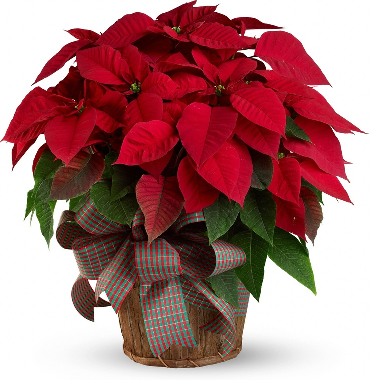 Large Red Poinsettia Plant Flowerchristmas