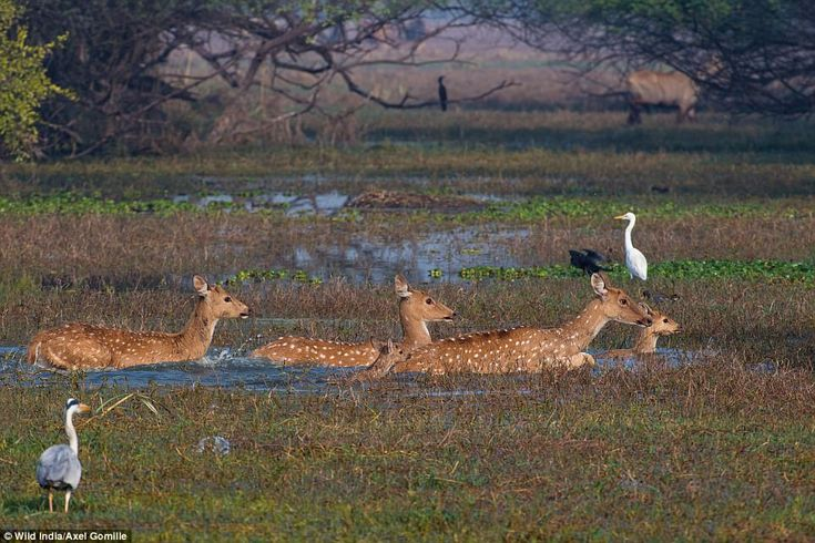 Ruins dot the park at Ranthambhore, which was once one of the former hunting grounds of th...