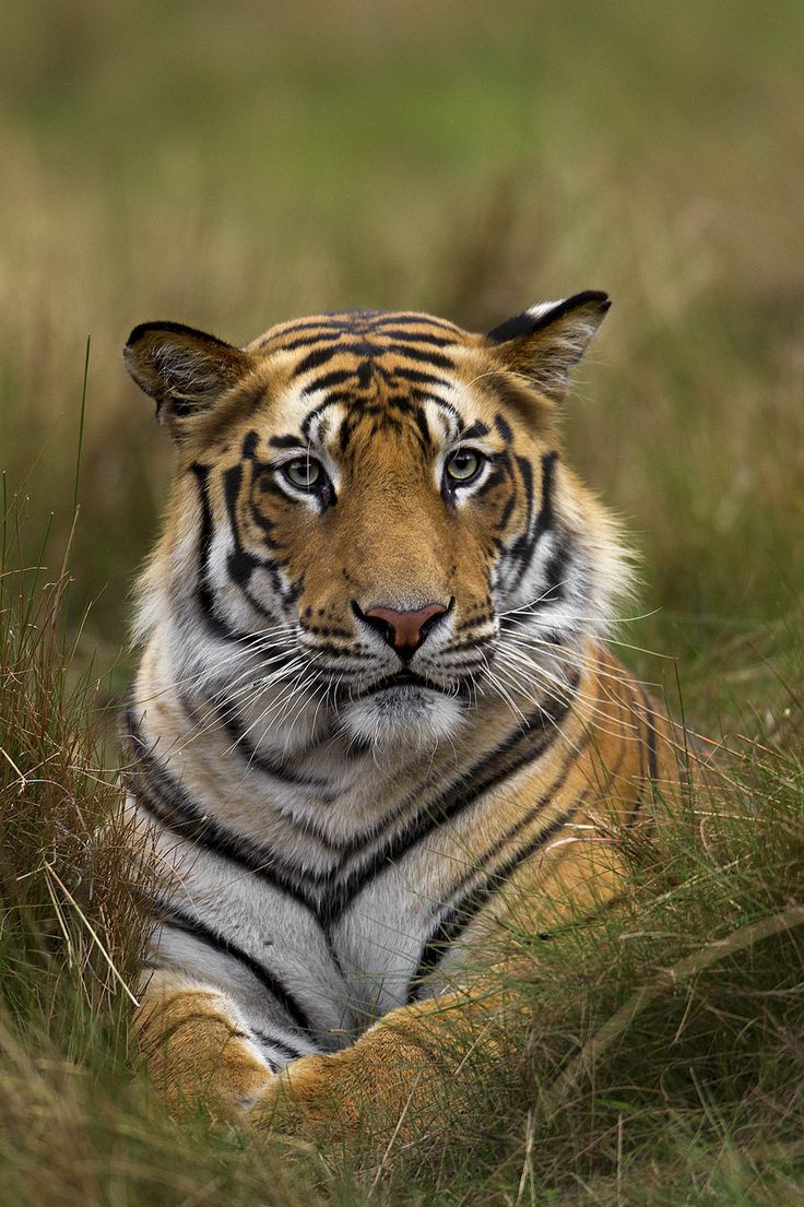Eye of the Tiger: An Interview with Sudhir Shivaram | Nature TTL