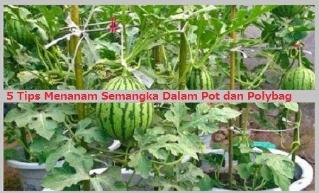 5 Tips Menanam Semangka Dalam Pot dan Polybag