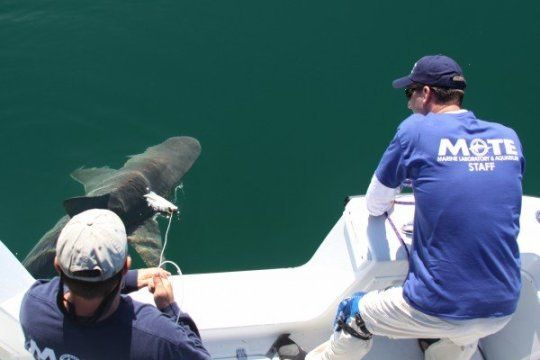 Newly developed #finbits allow scientists to track #shark recovery and mortality following catch-and-release.