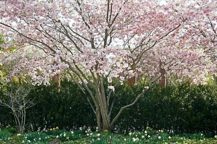 Prydnadskörsbär, Prunus 'Accolade'. Höjd 4-6 m. Planterad 2014.