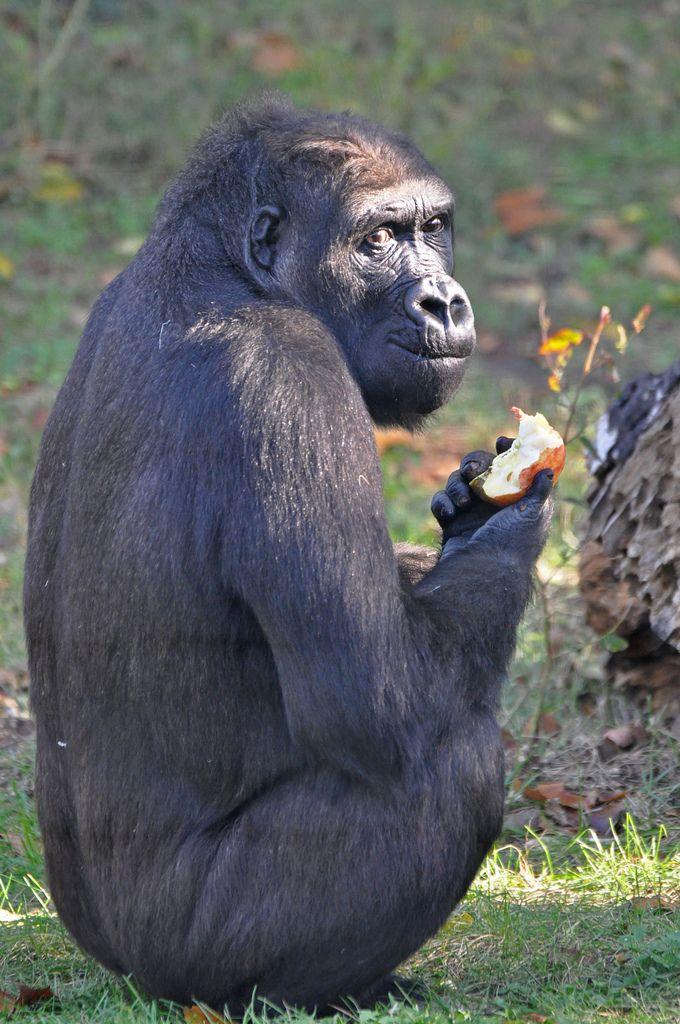 Westelijke laaglandgorilla (Gorilla gorilla gorilla) Budapest Zoo, Hungary Conservation status: Critically Endangered