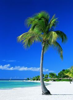 A beautiful palm tree on white sandy beach in Antigua. There are plenty of beautiful white sandy beaches in Antigua, but there are plenty of other activities to enjoy as well. Just a gorgeous island.