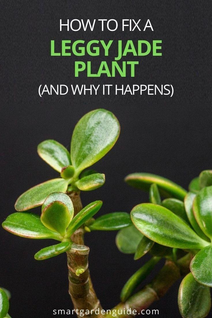 How To Fix A Leggy Jade Plant Crassula Ovata Smart Garden Guide Jade Plants Jade Plant Pruning Jade Plant Care