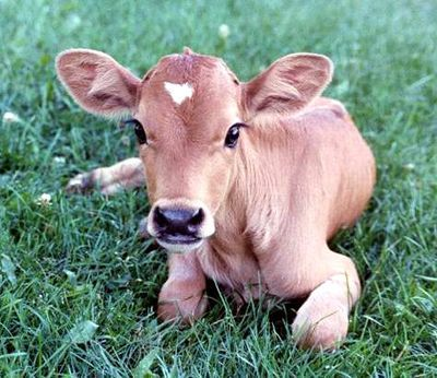 If you can look at such a beautiful innocent creature & still eat beef i don't know you.