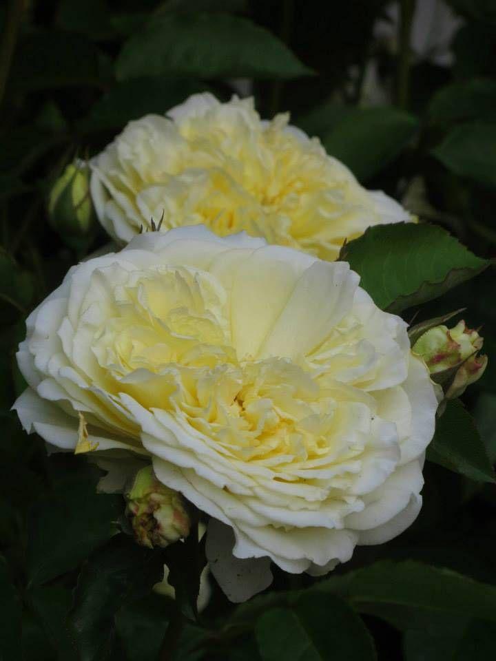 'The Pilgrim' |  Shrub.  English Rose Collection. Bred by David C. H. Austin (United Kingdom, before 1991)