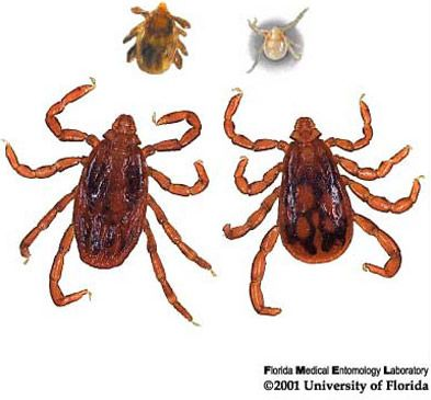 The brown dog tick (Rhipicephalus sanguineus) is found worldwide, most often in warmer climates. It transmits Rocky Mountain Spotted Fever in the U.S. and in Central and South America. Photograph by James Newman, University of Florida.