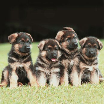 "These German Shepherd puppies are practicing ""sit-stay""."