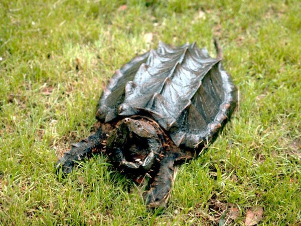 kentucky animals/alligator snapping turtles - Google Search