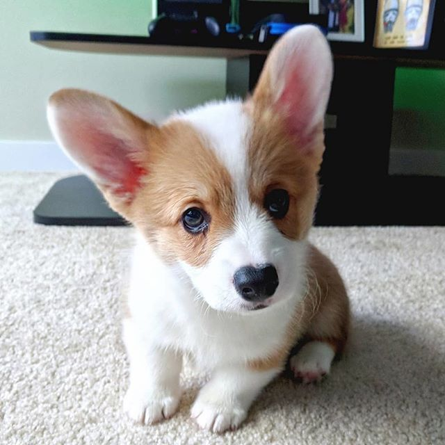Pembroke Welsh Corgi Cardigan Welsh Corgi Corgi Puppy Corgis For