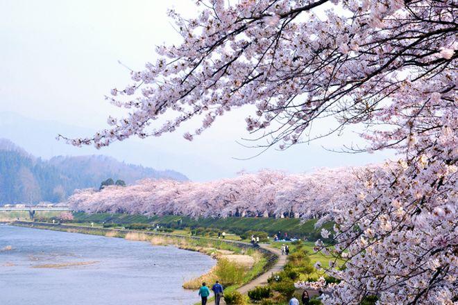 満開の桜に包まれるみちのくの小京都・角館。Akita, Japan