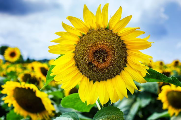 Sunflower At Calkins Road Pittsford Ny Floral