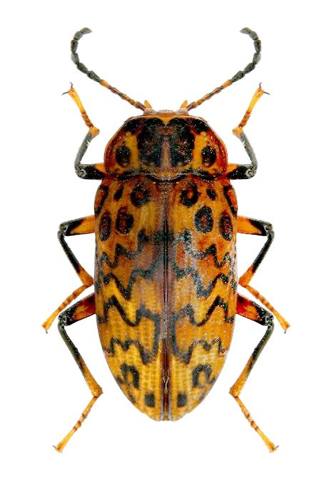 Erotylidae sp.