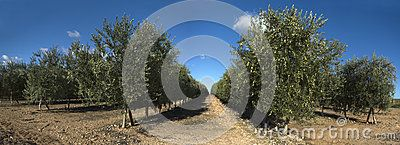 Rows of olive trees, panoramic