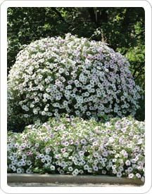 17 best images about petunias on pinterest cherries - Wave petunias in containers ...
