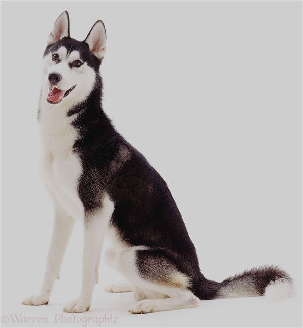 Popular Siberian Husky Pictures For Dog Lovers Dogs