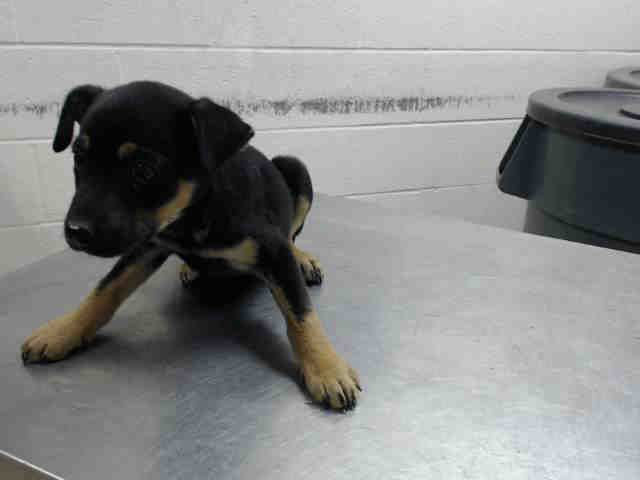 11/29/16-HOUSTON - HIGH KILL FACILITY - ALL DOGS URGENT DUE TO OVERCROWDING  This DOG - ID#A473189  I am a female, brown Labrador Retriever mix.  The shelter staff think I am about 9 weeks old.  I have been at the shelter since Nov 29, 2016.  This information was refreshed 38 minutes ago and may not represent all of the animals at the Harris County Public Health and Environmental Services.
