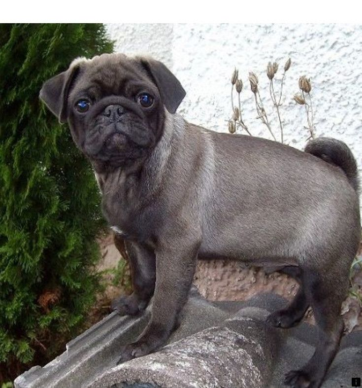 Visit The Webpage To Learn More On Where To Buy A Pug Follow The