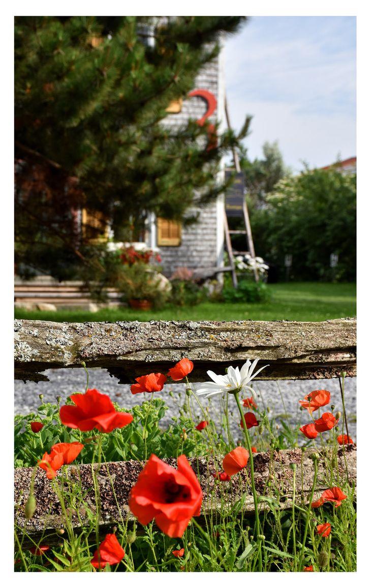 Des coquelicots, pour un cadre champêtre et enchanteur ! Environnement de la galerie d'art Quai n° 3, à Kamouraska.