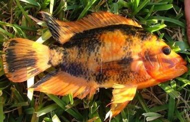 184 best images about cichlids on pinterest for Red devil fish for sale