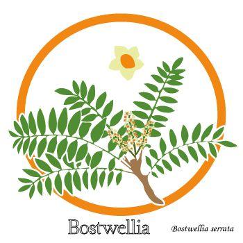 Boswellia - Dessin plante et fleur- Confort articulaire - Plante médicinale.