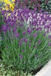 Buy Lavender Plants   Unwins Seeds