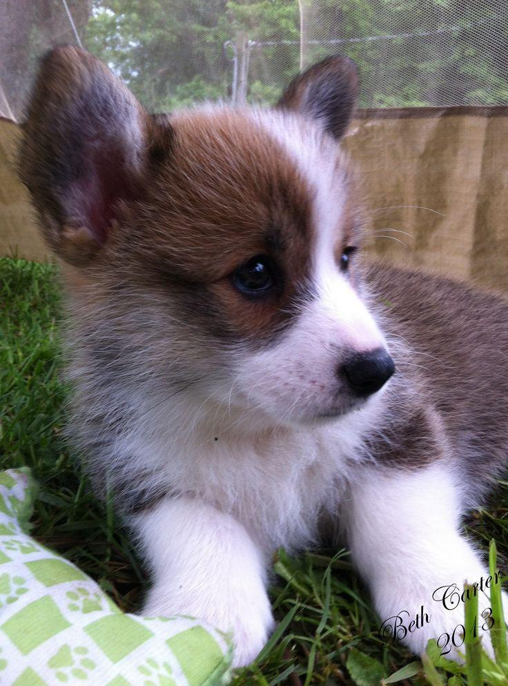 Sable and White Pembroke Welsh Corgi puppy