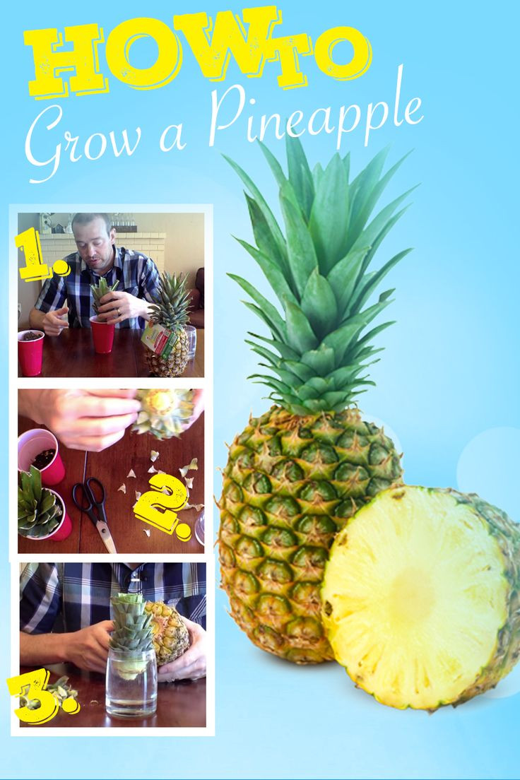 grow fruit indoors how to grow a pineapple and tips for pineapple planting fresh pineapple is. Black Bedroom Furniture Sets. Home Design Ideas