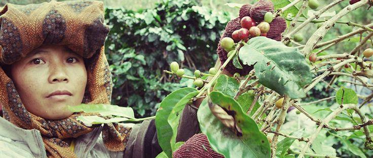 PT Gajah Mountain Cooperative - Stumptown Coffee Roasters
