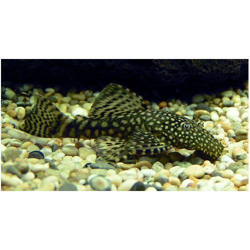 Bristlenose Catfish For Sale