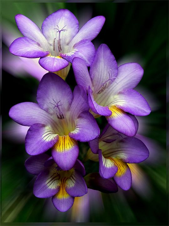Freesia hybrid cultivar. Originally from South Africa; now a popular garden and florist's choice.