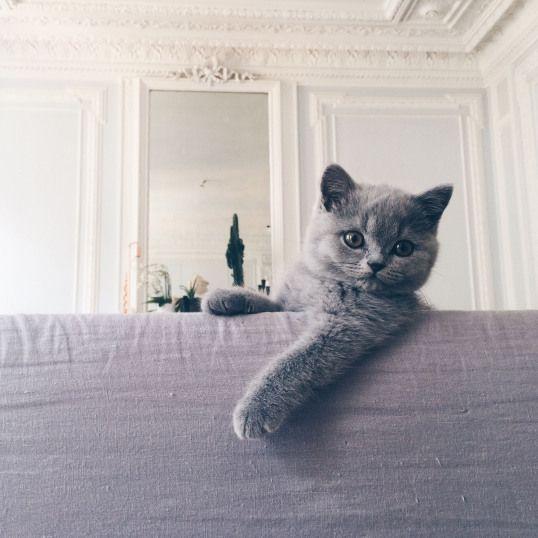 Mon Chaton Bleu British Shorthair De 12 Semaines Il Est Ne Au
