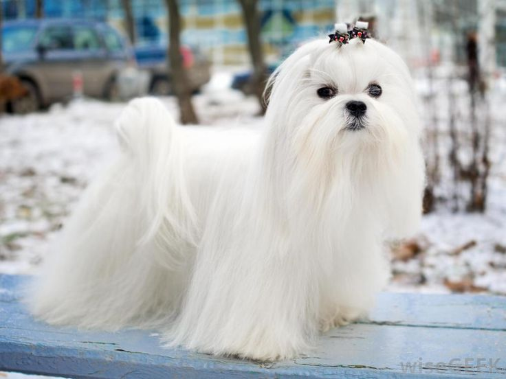 white teacup maltese 118 best images about maltese and papillon mix on 8857