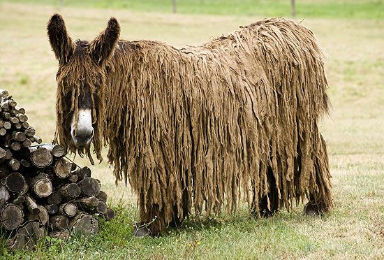 This is the Poitou donkey, an extremely rare breed of donkey thought to have originated in the Roman Empire some time around 545 B.C.  This donkey is known primarily for its distinctive fur, which grows long and twists into dreadlocks because it's so soft. The Poitou is also larger than other donkey breeds; standard height is between 4 1/2 and 5 feet.
