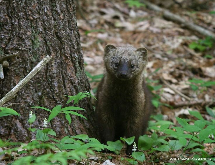 Fisher cat! Just plain CUTE!!! Pinterest Cats and Fisher