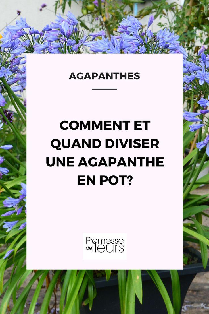 Pour une floraison abondante et continue, l'agapanthe a besoin d'être divisée régulièrement. Quand et comment la diviser? On vous dit tout!