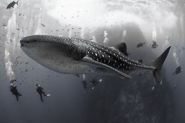 Whale sharks arrive in Roca Partida, Mexico's Socorro Islands, in November, May and June. When they are there, they curiously swim around divers. by David Valencia