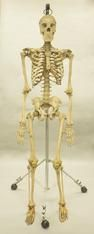 Real Articulated Human Skeleton (Homo sapiens)  because why not.