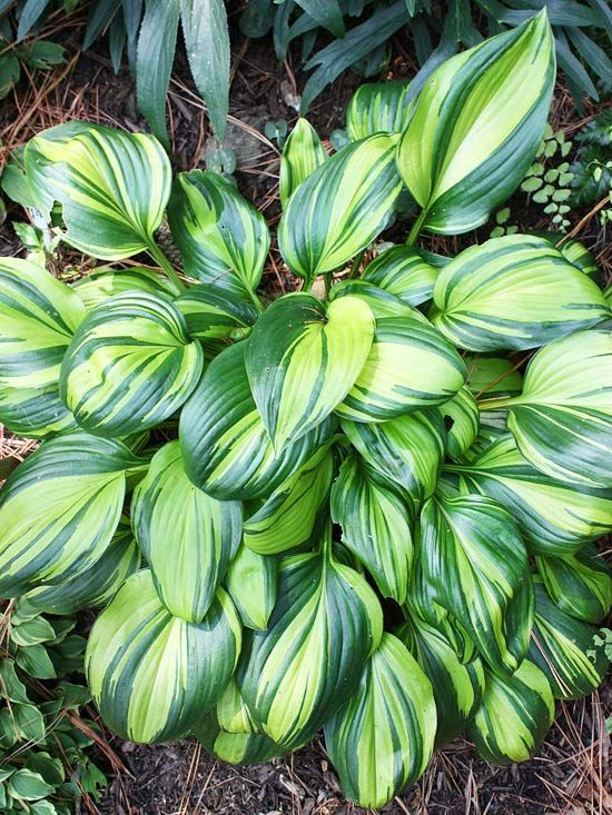 We love the irregular variegation of 'Rainbow's End' #Hosta. See more of our favorite hostas: http://www.bhg.com/gardening/flowers/perennials/guide-to-hostas/