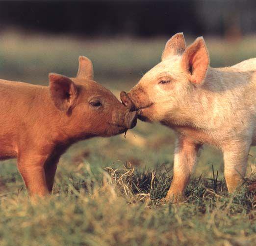 豚のキスシーン
