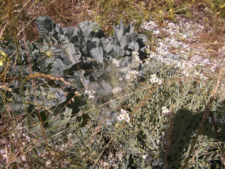 Twitter / Gallwwwanders: ..and sea kale, amongst other saltmarsh & shore plants