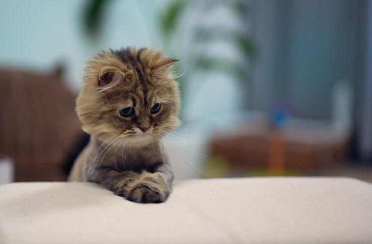 Gato con las patas delanteras sobre una superficie blanca y volteando hacia abajo