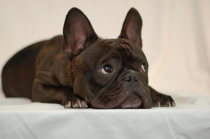 Oh my goodness, I wanna Frenchie so. bad. And name him Pierre... Yup, I have this all planned out.