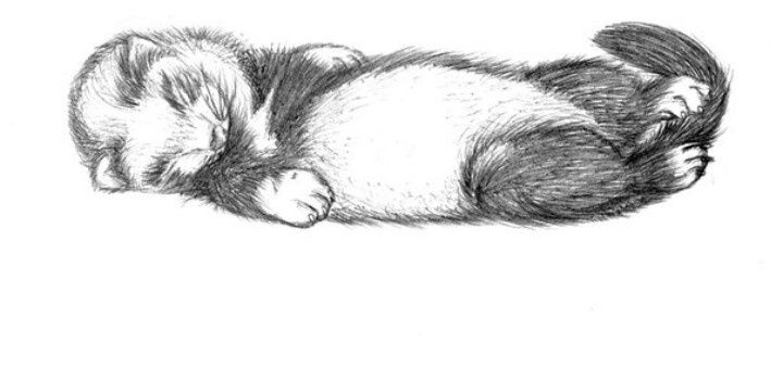 Sleeping Ferret Darawing