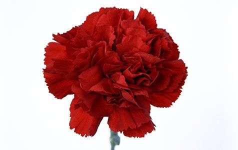 Cravo Vermelho   Cooperflora