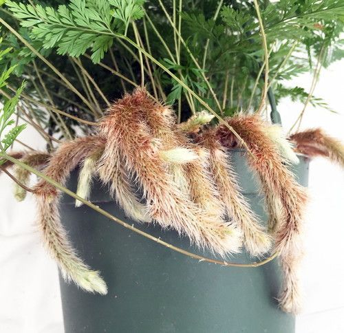 "Rabbit's Foot Fern - 6.5"""" Hanging Basket - Easy to Grow!"