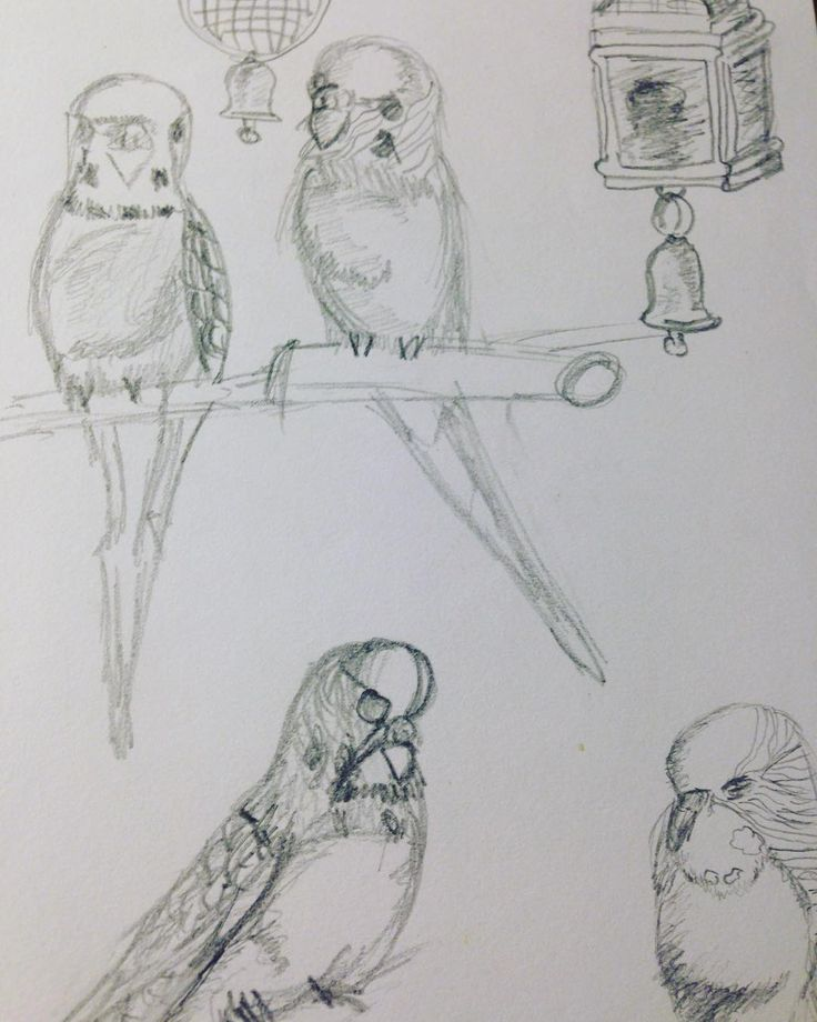 Found an old drawing of mine from about 5 years ago. My pet budgies  this year one will turn 13!! #illustration #parrot #budgerigar #petstagram #pet #birds #pencil  #draw #drawing #art #budgie #sketch #portrait
