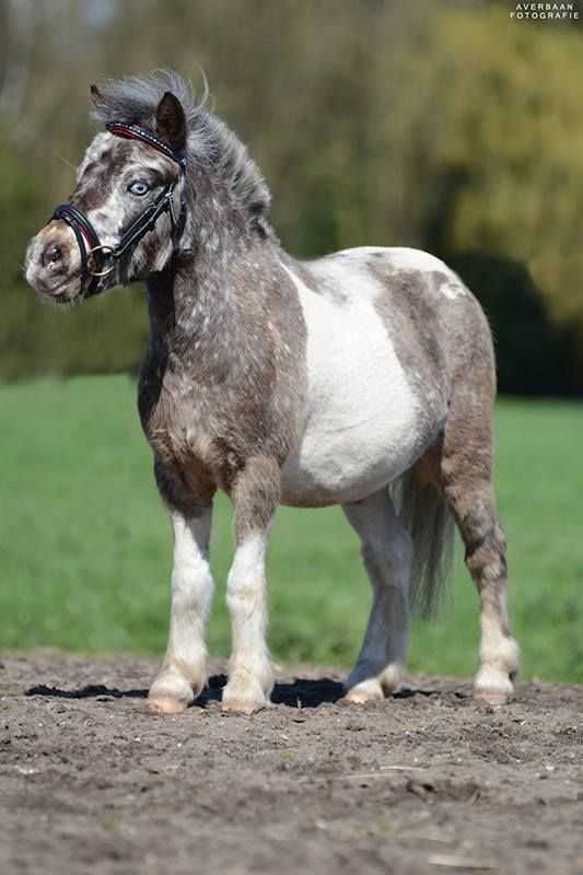 Shetland Pony as cute as can be with pretty blue eyes.