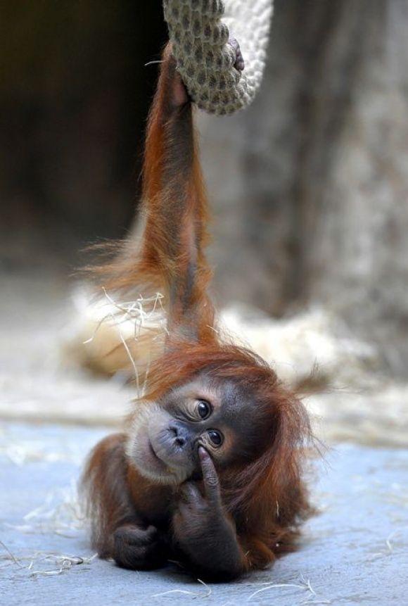 Orangutan baby, ¡OJO QUE TE ESTOY MIRANDO!